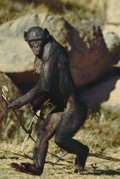 bonobowalking1