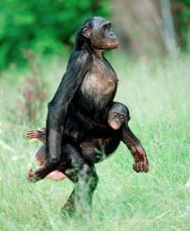 bonobowalking2