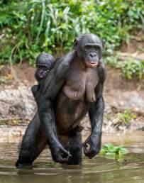 bonobowalking4