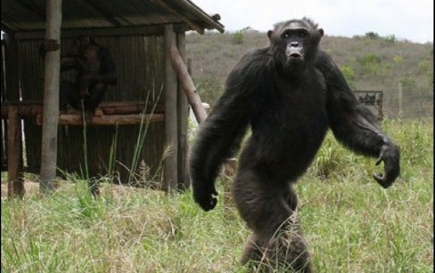chimpwalking
