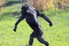 chimpwalking2