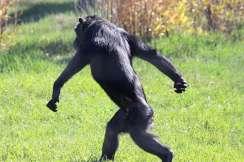chimpwalking2