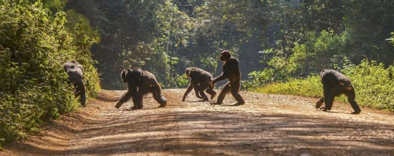 chimpwalking3