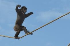 chimpwalking4